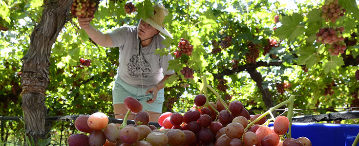 2015 Summer Sweet Scarlet Grape Harvest