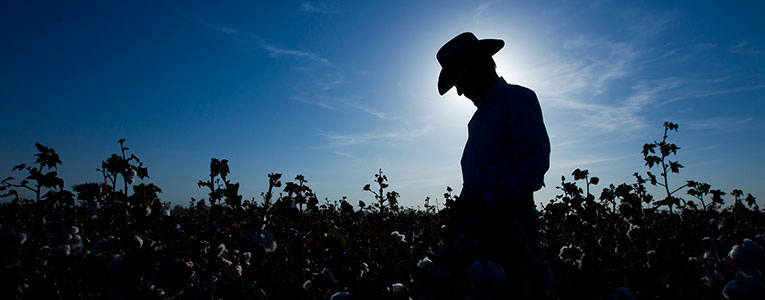 Man in Cotton Field